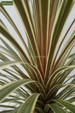 Cordyline australis Torbay Dazzler - total height 80-100 cm - pot Ø 21 cm_