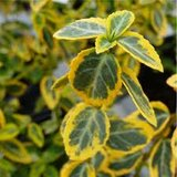 Euonymus fortunei Emerald 'n Gold_