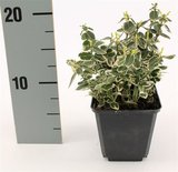 Euonymus fortunei Emerald Gaiety - pot 0,5 ltr_