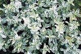 Euonymus fortunei 'Harlequin'_