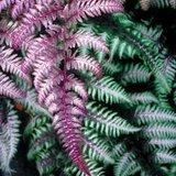 Athyrium niponicum Red Beauty pot 0,7 ltr_