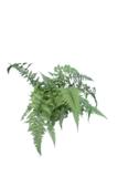Athyrium niponicum Metallicum pot 0,7 ltr_