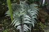 Athyrium niponicum Metallicum 2 ltr._