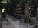 Phoenix canariensis set of 3 - total height 30-40 cm - pot 11 x 11 cm_