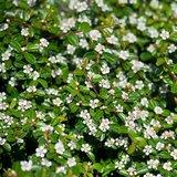 Cotoneaster dammeri Radicans - pot Ø 11 cm_