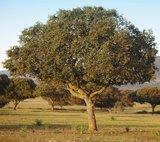 Quercus ilex - total height 130+ cm - pot Ø 21 cm_