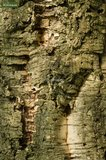 Quercus suber pot Ø 17 cm_