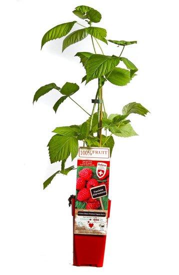 Rubus idaeus Twotimer Sugana red