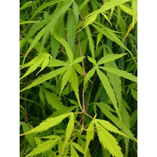 Acer palmatum Koto-no-ito 3 ltr