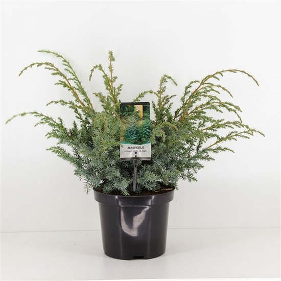 Juniperus chinensis Blue Alps 3 ltr