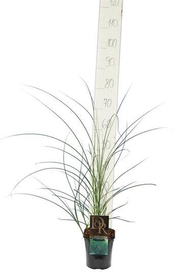 Miscanthus sinensis Gracillimus 2 ltr