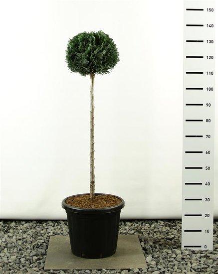 Chamaecyparis lawsoniana Columnaris ball on trunk 100 cm