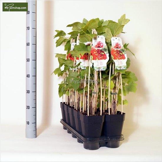 Ribes rubrum 2 Ltr pot