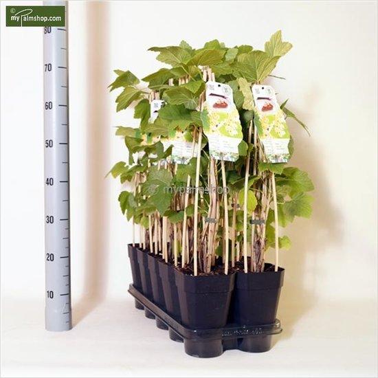 Ribes rubrum 'Witte Parel' 2 Ltr pot