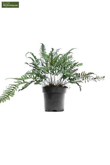 Polypodium vulgare 5 Ltr pot