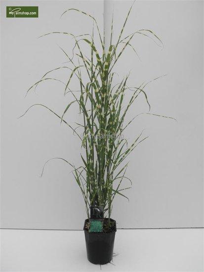 Miscanthus sinensis Strictus 5 ltr