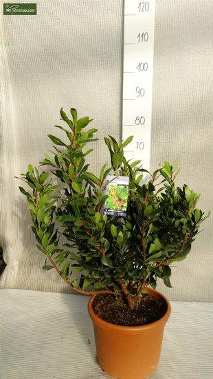 Arbutus unedo 8,4 Ltr pot