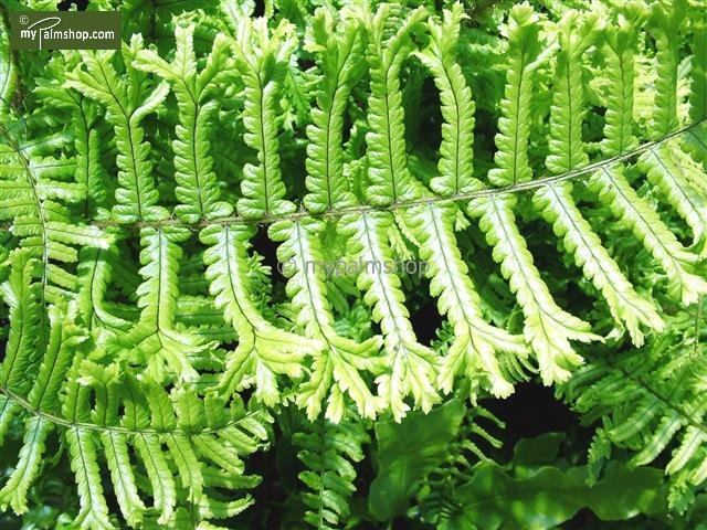 Dryopteris Affinis Cristata The King 5 ltr
