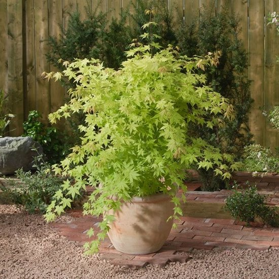 Acer Palmatum 'Summer Gold' - pot 3 Ltr - total height 60-80 cm
