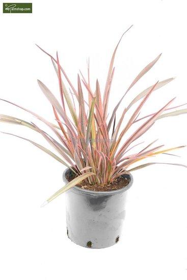 Phormium rainbow queen 5 Ltr pot