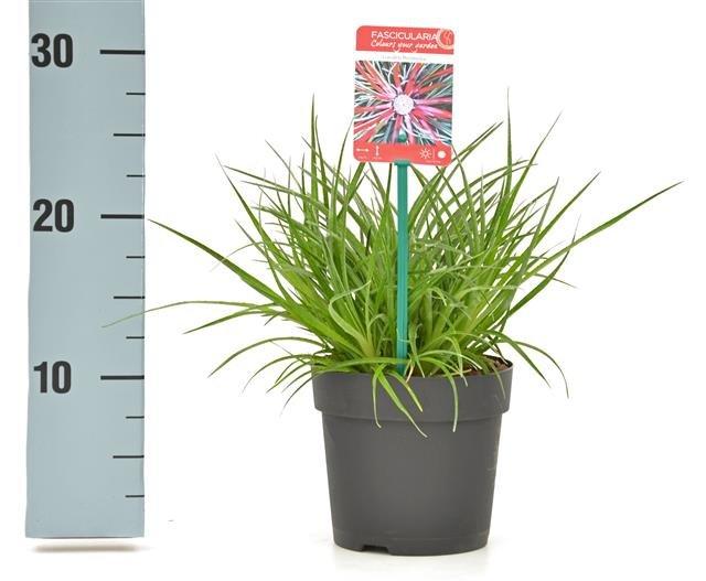 Fascicularia Bicolor 1,5 ltr