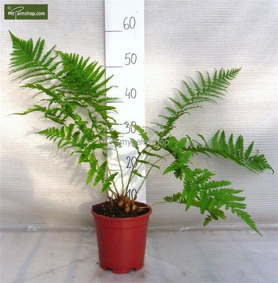 Dryopteris filix-mas 1.7 Ltr pot