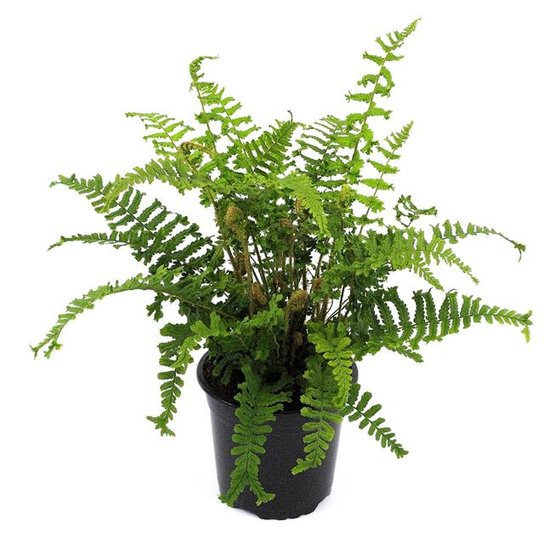 Dryopteris affinis cristata The King 0.7 Ltr pot