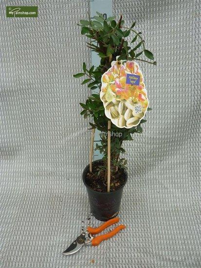 Pistacia lentiscus 2 ltr