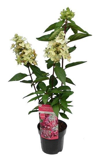 Hydrangea paniculata Magical Vesuvio pot 3 ltr