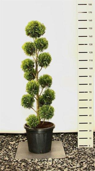 Thuja occidentalis Yellow Ribbon Multibol - total height 150-170 cm