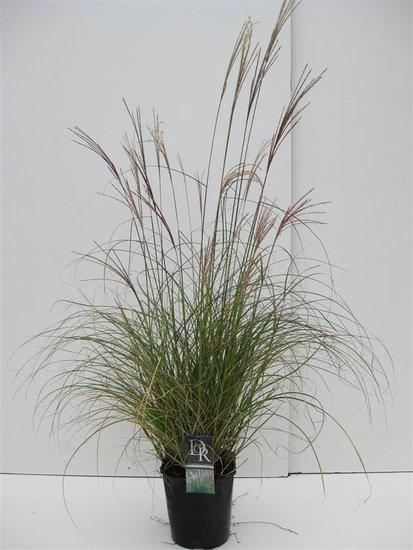 Miscanthus sinensis Adagio 5 ltr