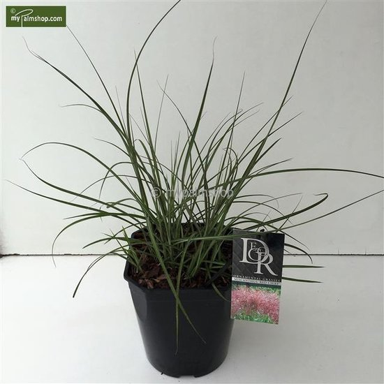 Miscanthus sinensis Red Chief 10 ltr