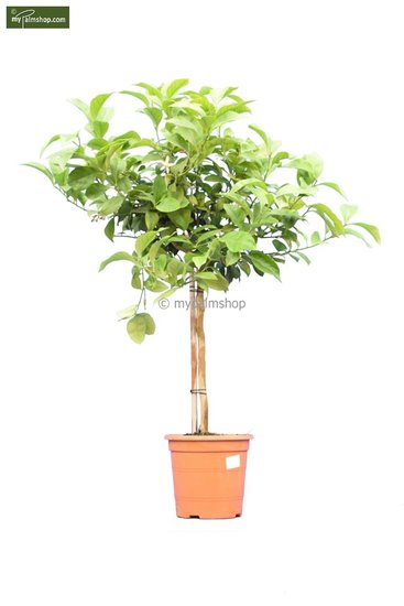 Citrus limon trunk 30-40 cm