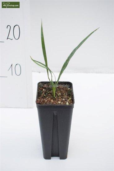 Yucca rupicola 0.7 ltr