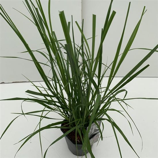 Pennisetum alopecuroides Red Head 2 ltr
