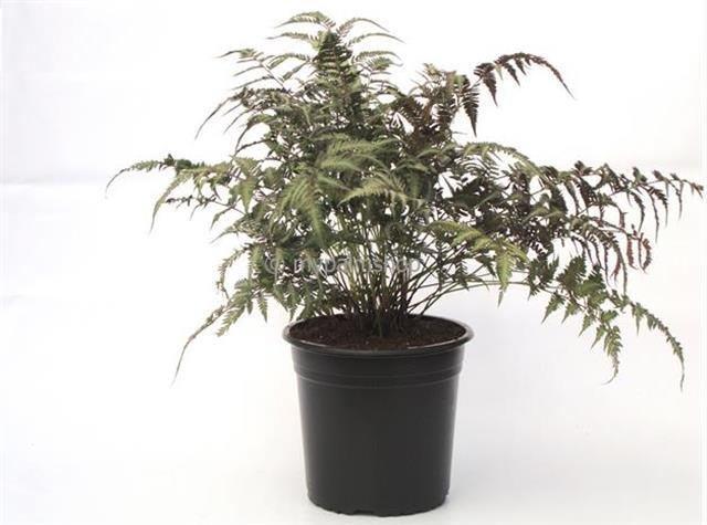 Athyrium niponicum Red Beauty 5 ltr