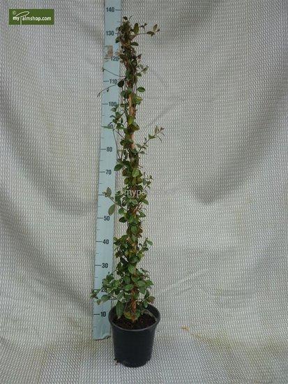 Trachelospermum jasminoides 3 ltr