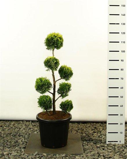 Chamaecyparis lawsoniana Ivonne Multibol - total height 100-120 cm