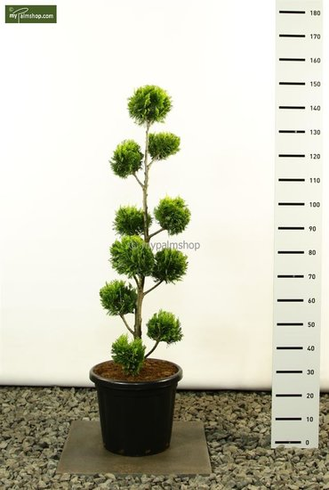 Chamaecyparis lawsoniana Ivonne Multibol - total height 125-150 cm