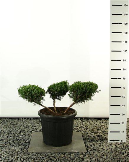 Juniperus media Mint Julep Multiplateau 3-Branches - total height 80-100 cm