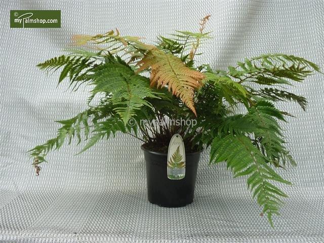 Dryopteris lepidopoda 5 ltr