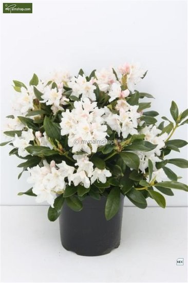 Rhododendron Cunningham's White 5 ltr