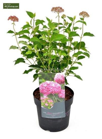 Hydrangea arborescens Roze Annabelle 3 ltr