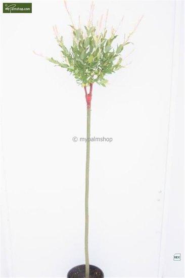 Salix Hakuro Nishiki 5 ltr