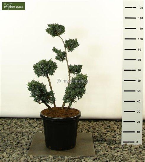 Juniperus Squamata Meyeri Multiplateau - total height 80-100 cm