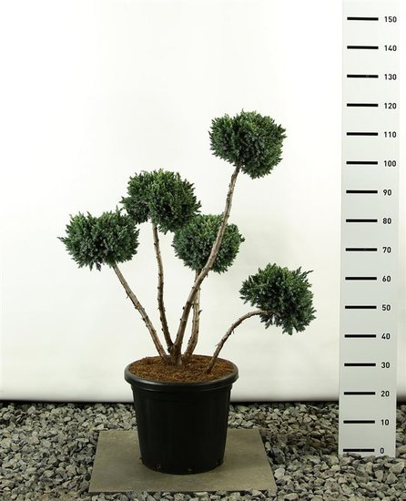 Juniperus squamata Meyeri multibol 100-125 cm
