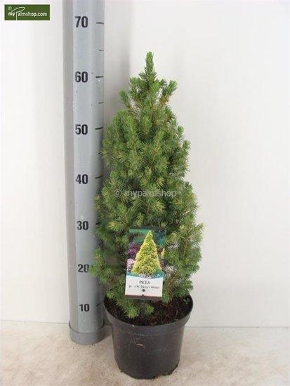 Picea glauca J.W. Daisy's White 3 ltr