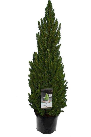 Picea glauca Perfecta 5 ltr