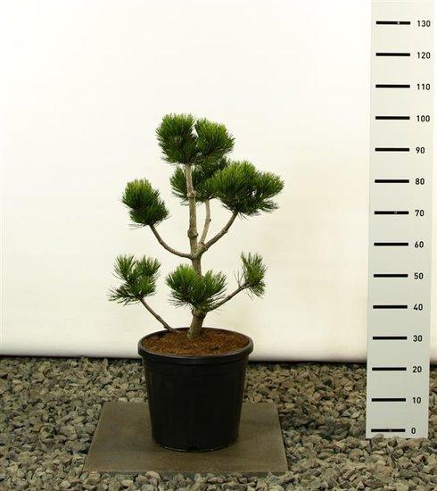 Pinus Leucodermis Malinki Multibol 80-100 cm