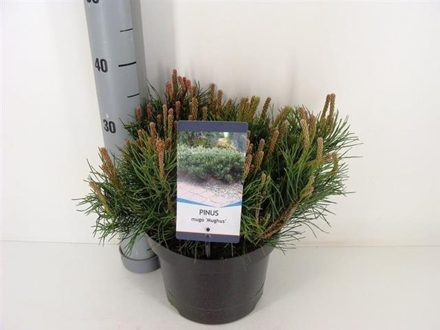 Pinus mugo mughus 5 ltr